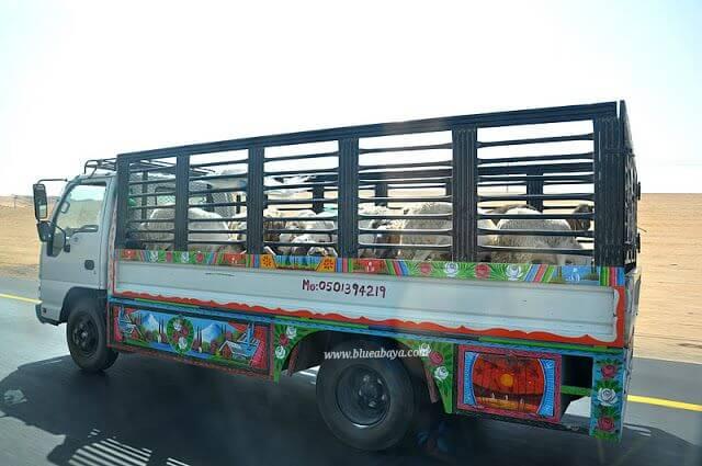 saudi truck sheep