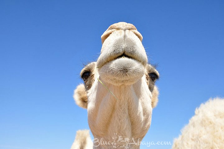 Camels Miracles Of The Desert Blue Abaya