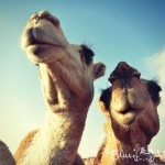 Camel Milk & Urine Medicine