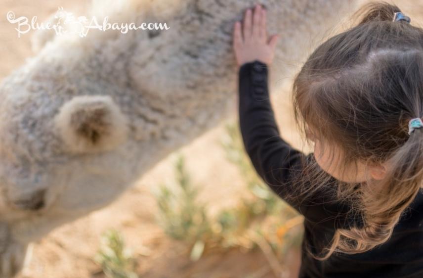 fluffy baby camel