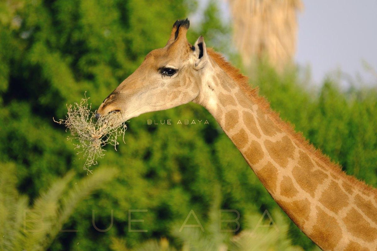 Nofa african resort safari and wildlife center riyadh blueabaya giraffes roamed in the arabian peninsula thousands of years ago photo laura alho fandeluxe Choice Image