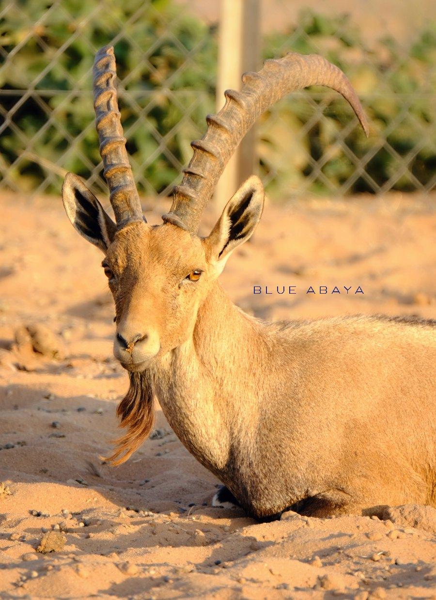 Nofa african resort safari and wildlife center riyadh blueabaya the arabian ibex is an endangered species on the arabian peninsula photo laura alho fandeluxe Choice Image