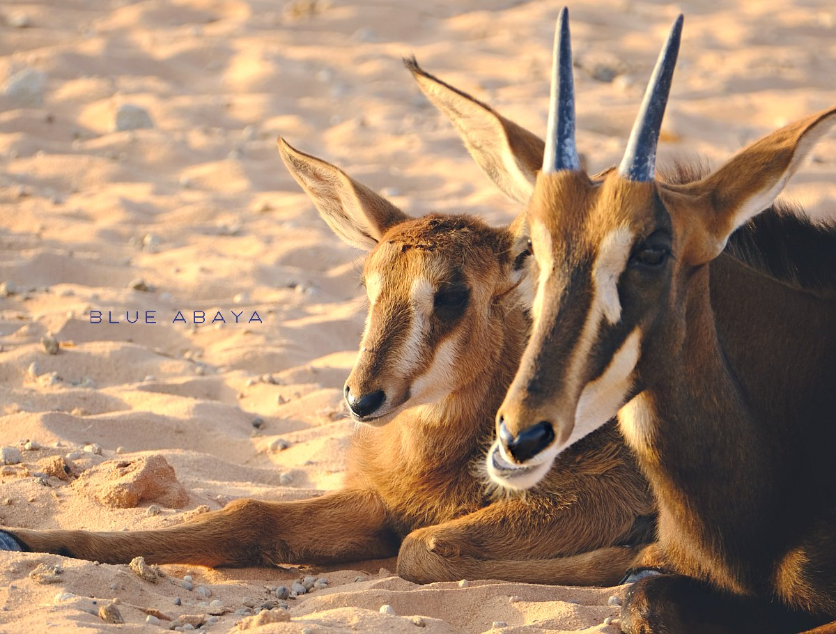 Nofa african resort safari and wildlife center riyadh blueabaya roan antelope and calf at nofa safari park photo laura alho fandeluxe Choice Image