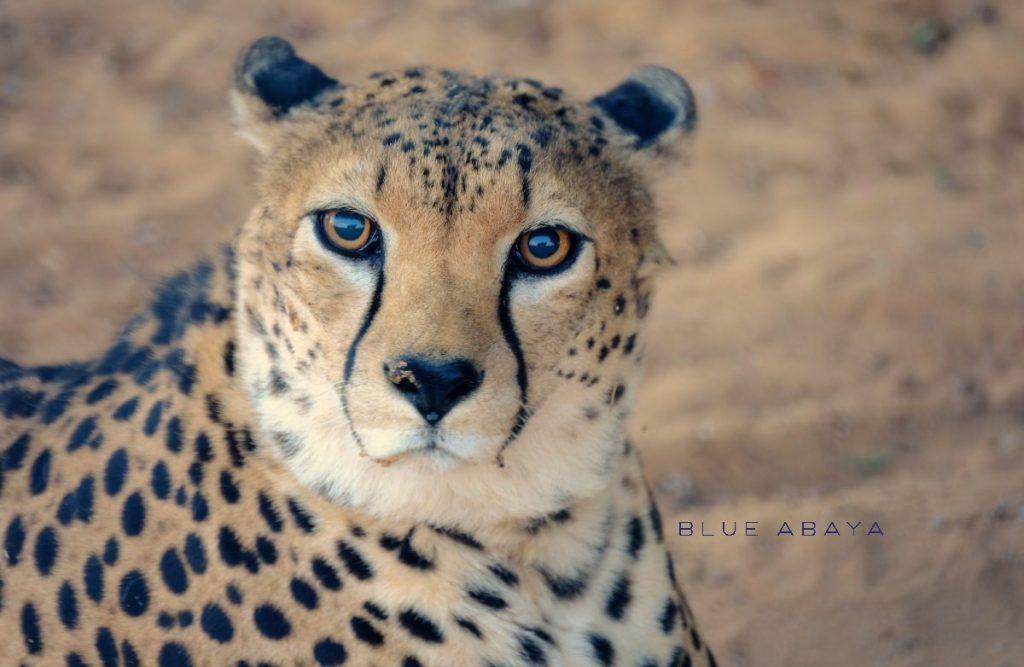 Nofa african resort safari and wildlife center riyadh blueabaya cheetah at nofa safari park photo by laura alho fandeluxe Choice Image