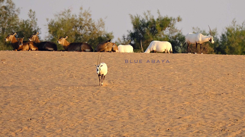 Nofa african resort safari and wildlife center riyadh blueabaya endangered arabian oryx photo by laura alho fandeluxe Choice Image